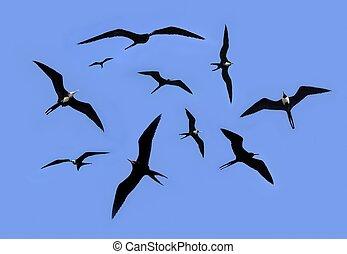 frigate bird silhouette backlight breeding season sky background