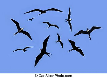 frigate bird silhouette backlight breeding season sky...