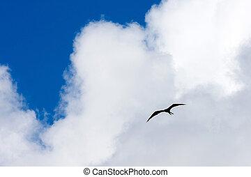 Frigate Bird - Silhouette of a Caribbean frigate bird flying...