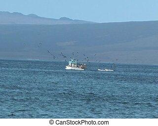 Frigate Birds flying around fishing boat in Galapagos...