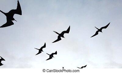 Frigate Birds Soar Next to Boat Closeup.