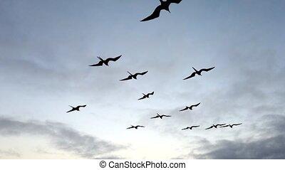 Frigate Birds Soar Next to Boat.