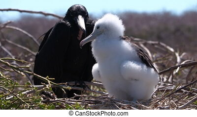 Frigatebird on Galapagos islands. Juvenile Magnificent Frigate-bird chick in birds nest, North Seymour Island, Galapagos Islands. Male frigate bird with red neck gular pouch in background