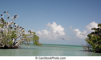 Frigatebirds near Punta Allen, Mexico - Frigatebirds on a...
