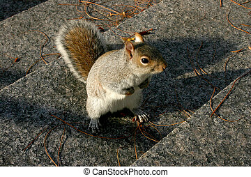 Frightened American gray squirrel