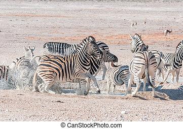 Frightened Burchells Zebras (Equus quagga burchellii) at a...