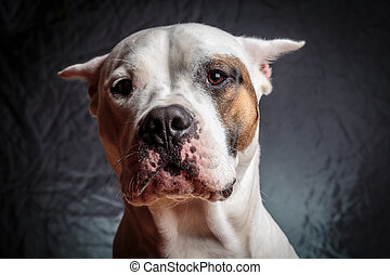 Frightened dog - Scared dogo argentino with a strange...