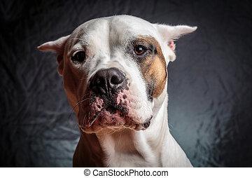 Frightened dog - Scared dogo argentino with a strange...