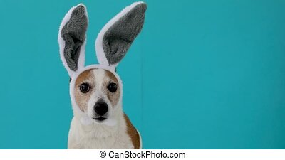 Frightened dog with rabbit ears hat licks on isolated on a...
