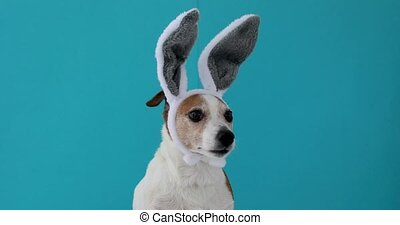 Frightened dog with rabbit ears hat on isolated on a blue...