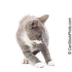 Frightened kitten - Frightened gray kitten. Isolated on...