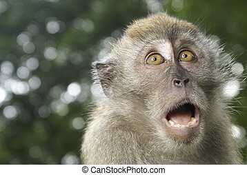 Frightened monkey - Long tailed macaque portrait with...