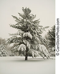 This is a shot of a stately pine covered in fresh fallen snow.