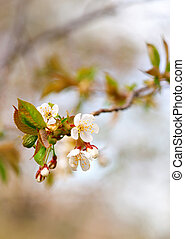 Friit tree blossoms in early spring