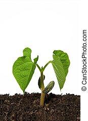 frijol, planta de semillero