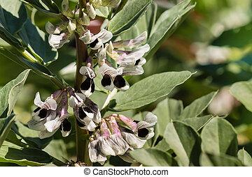 frijoles anchos, planta, en el flor