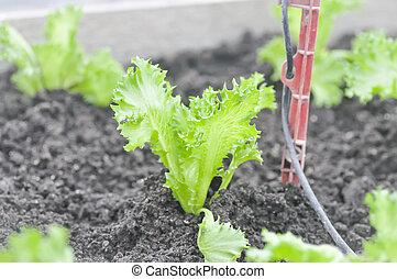 frillice iceberg, lettuce in the vegetable garden