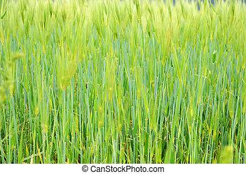 Fringe of highland barley