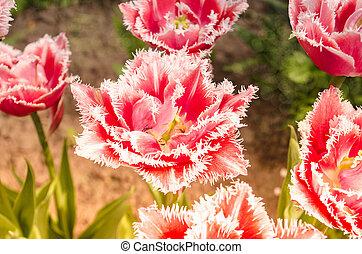 fringed, розовый, тюльпан, сад, белый