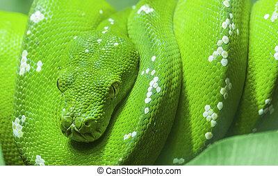 frisé, vert, haut, branche, serpent