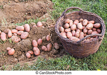 fris, aardappel