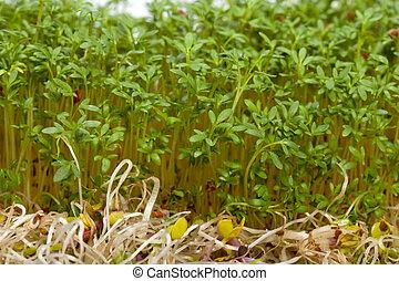 fris, alfalfa, spruiten, en, tuinkers, op wit, achtergrond