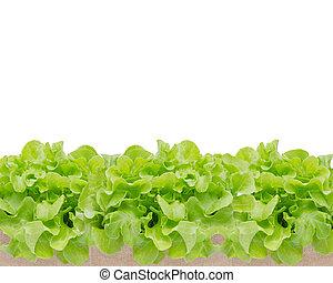 fris, groen groenten