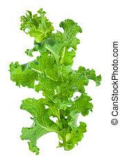 fris, groen lettuce