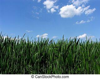 fris, groene, gras, met, blauwe hemel