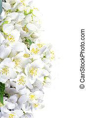 fris, jasmine., zomer, bloem