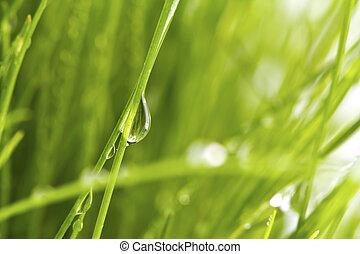fris, lente, groen gras, met, dauw, vrijstaand, op wit, achtergrond.