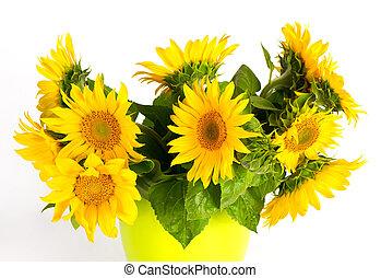 fris, op, zonnebloemen, witte achtergrond