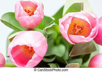 fris, roze, tulpen, vrijstaand, op wit, achtergrond.