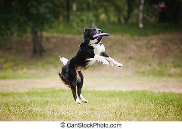 frisbee, cão, pegando, disco
