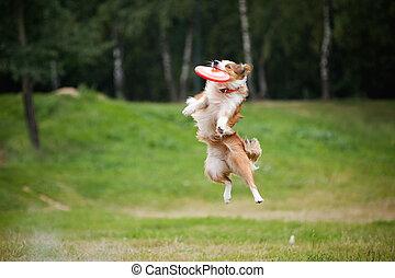 frisbee, cachorro vermelho, pegando