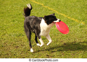 Frisbee fun - A picture of a black and white border collie...