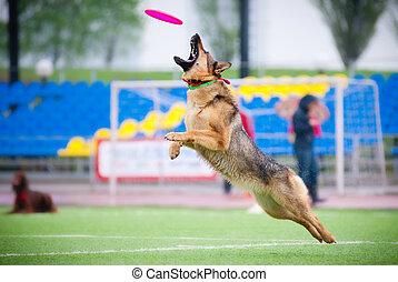 Frisbee German shepherd catching - German shepherd catching...