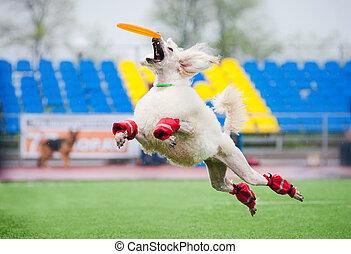 Frisbee poodledog catching
