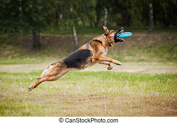 Frisbee sheepdog catching disc