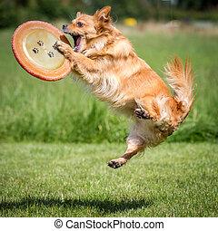 Frisbeescheibe gefangen - Kleiner Brauner Mischlings Hund...