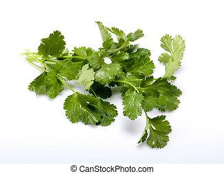 frisch, cilantro