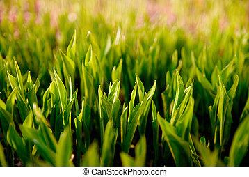 frisch, grünes gras, (leaves, von, lilie, von, der, valley)., sonnenlicht, erleuchtet, der, blätter, in, der, evening.