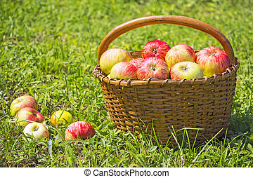 frisch, rote äpfel, in, der, hölzern, korb, auf, grünes gras