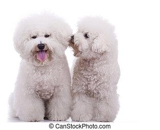 frise, feliz, bichon, perros, dos
