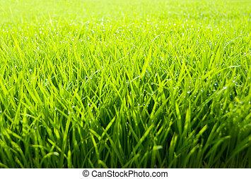 frisk, grässlätt, vacker