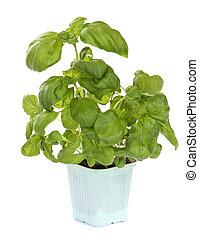 frisk, grön, basilika växt, isolerat, över, vit