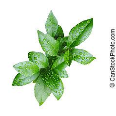 frisk, grön, citron lämnar, med, vatten gnuttar