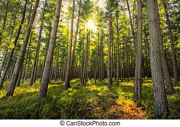 frisk, skov, solopgang