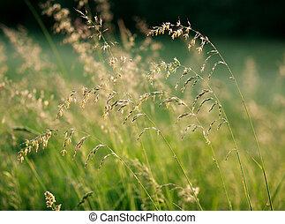 frisk, sommar, gräsfält, hos, gryning, solljus, natur, bakgrund