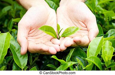 frisk, te leaves, in, händer slut, te, buske, på, plantering